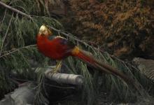asian-pheasent