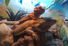 bearded-dragons