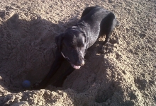harvey-digging-a-large-hole-for-his-ball